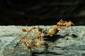 Ants working Together — Stock Photo