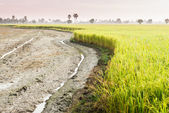 Tractor tracks in rice field — Stock Photo