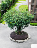 Velha árvore grande — Foto Stock