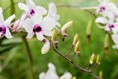 White Phalaenopsis orchid — Stock Photo