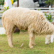 Stock Photo: Little sheep