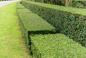 A well landscaped and manicured hedge of bushes — Stock fotografie
