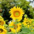 Foto Stock: Beautiful sunflower