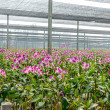 Stock Photo: Orchid plant nursery
