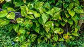 Scindapsus aureus il legname — Foto Stock
