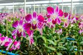 Orchid plant nursery — Stock Photo