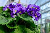 Purple flower in the pot — Stock Photo