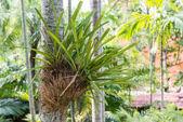 Parasite plant on the palm tree — Stock Photo