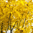 Autumn yellowness — Stock Photo