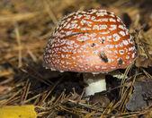 Mushroom a fly agaric — Stockfoto