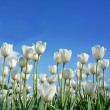 White tulip (botanical name : Tulipa spp.) against blue sky background — Stock fotografie