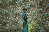 Splendid beautiful peacock with feathers out (Shallow DOF) — Stock Photo
