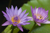 Close up of blooming water lily flower (botanical name Nymphaea spp.) — Stock Photo