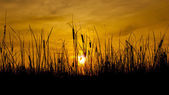 Wild grass silhouette against golden hour sky during sunset — Stock Photo