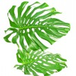 Two tropical leaves isolated on white — Foto Stock