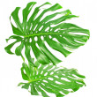 Two tropical leaves isolated on white — Lizenzfreies Foto