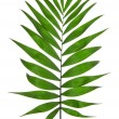 Green Leaf Palm Tree (Howea ) isolated on white  — Stock Photo