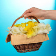 Basket with narcissuses in a female hand, on the blue — Stock Photo