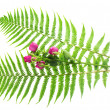 Leaves of a fern and branch the roses isolated on white — Stock Photo #32291433