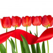 The tulips put in a row, and tape isolated on white — 图库照片