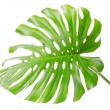 Single Monsteras leaf — Stock Photo
