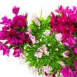 The flowers of charming small colored carnations — Stock Photo