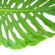 Bright tropical leaf close up with holes isolated on white — Stock Photo #32297735