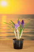 Pot with crocuses on a bamboo cloth against the sea — Stock Photo