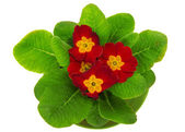 Heldere primula close-up, geïsoleerd op wit — Stockfoto