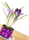 Pot with crocuses decorated by a bow on the bamboo cloth, isolated on white — Stock Photo