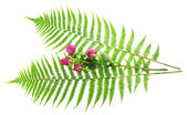 Leaves of a fern and branch the roses isolated on white — Stock Photo