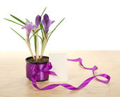 Pot of crocuses on a table and a card isolated on the white — Stock Photo