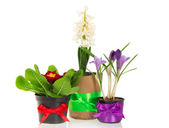 Pots with the flowers, decorated by a tape, isolated on white — Stock Photo