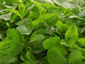 A lot of fresh spearmint leaves — Stock Photo