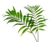 Howea dos grandes hojas verdes aislada en blanco — Foto de Stock