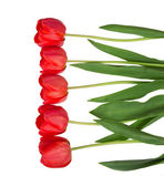 Border of beautiful fresh red tulips lined up isolated on white — Стоковое фото