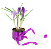 Pot with crocuses and a card, isolated on white — Stock Photo