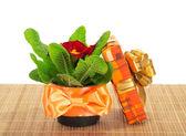 Pot met een primula op een bamboe doek en de doos van de gift, geïsoleerd op wit — Stockfoto