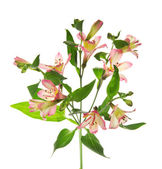 Branch of an alstroemeria odorous isolated on white — Stock Photo