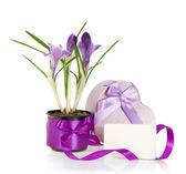 Krokussen, doos van de gift en de kaart geïsoleerd op wit — Stockfoto
