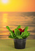 Pot with a primula on a bamboo cloth against the sea — Stock Photo