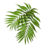 Two leaves of a palm tree isolated on white — Stock Photo