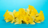Spring narcissuses on a blue background — Stock Photo