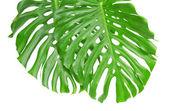 Dwa jasne tropikalny liści z otworami z bliska — Zdjęcie stockowe