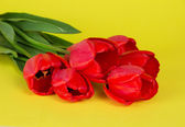 Bouquet of red tulips on a yellow background — Stock Photo