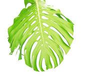Odwrotnej stronie liścia tropikalny zbliżenie z kropli wody — Zdjęcie stockowe