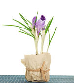 Pot with crocuses on the bamboo cloth, isolated on white — Stock Photo