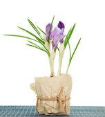 番红花竹布,孤立在白色上用锅 — 图库照片