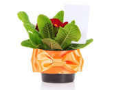 Pot with a primula and a card, isolated on white — Stock Photo