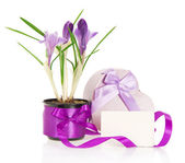Crocuses, gift box and the card isolated on white — Stock Photo